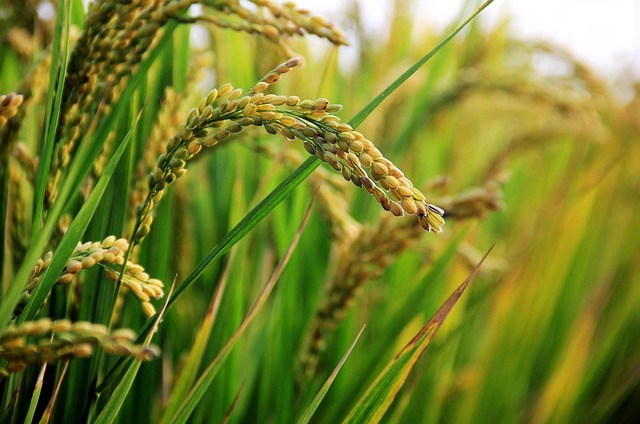 Read more about the article List of Largest Rice Producing Countries in the World