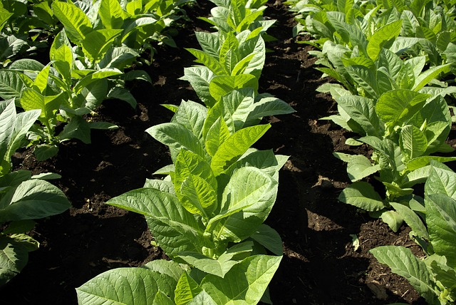 Read more about the article Largest Tobacco Producing Countries in the World