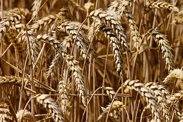 Read more about the article 15 Highest Wheat Producing Countries